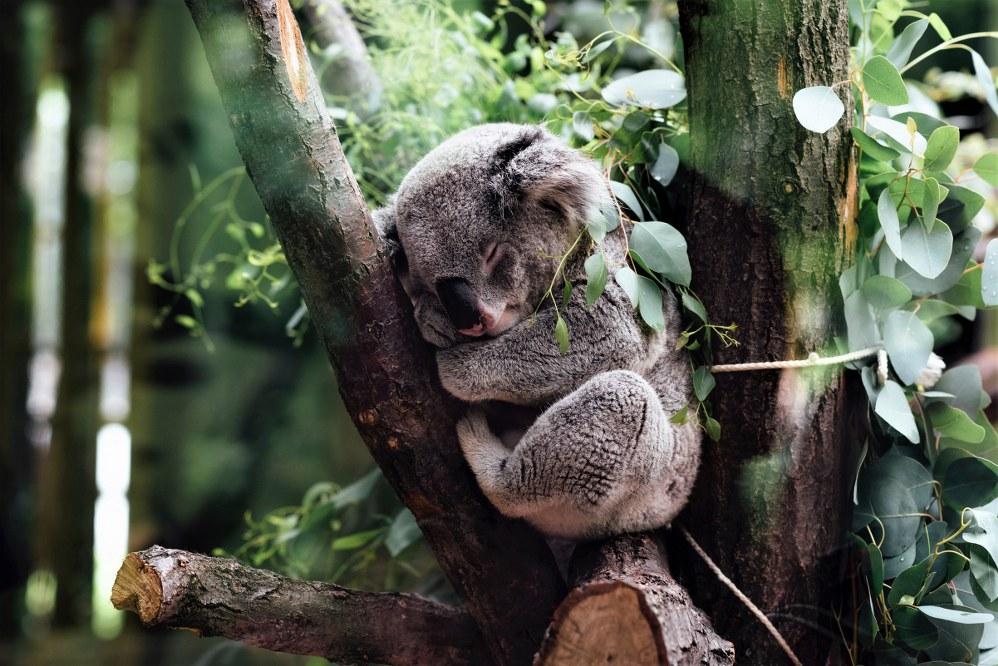 Koala sanctuary, NSW.